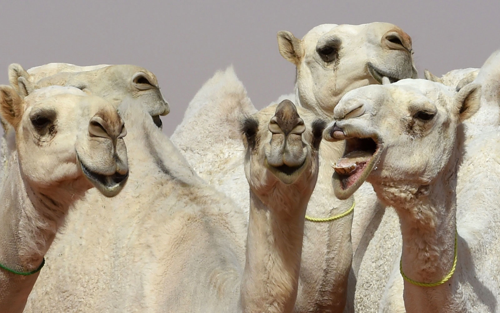 Camel Beauty contest