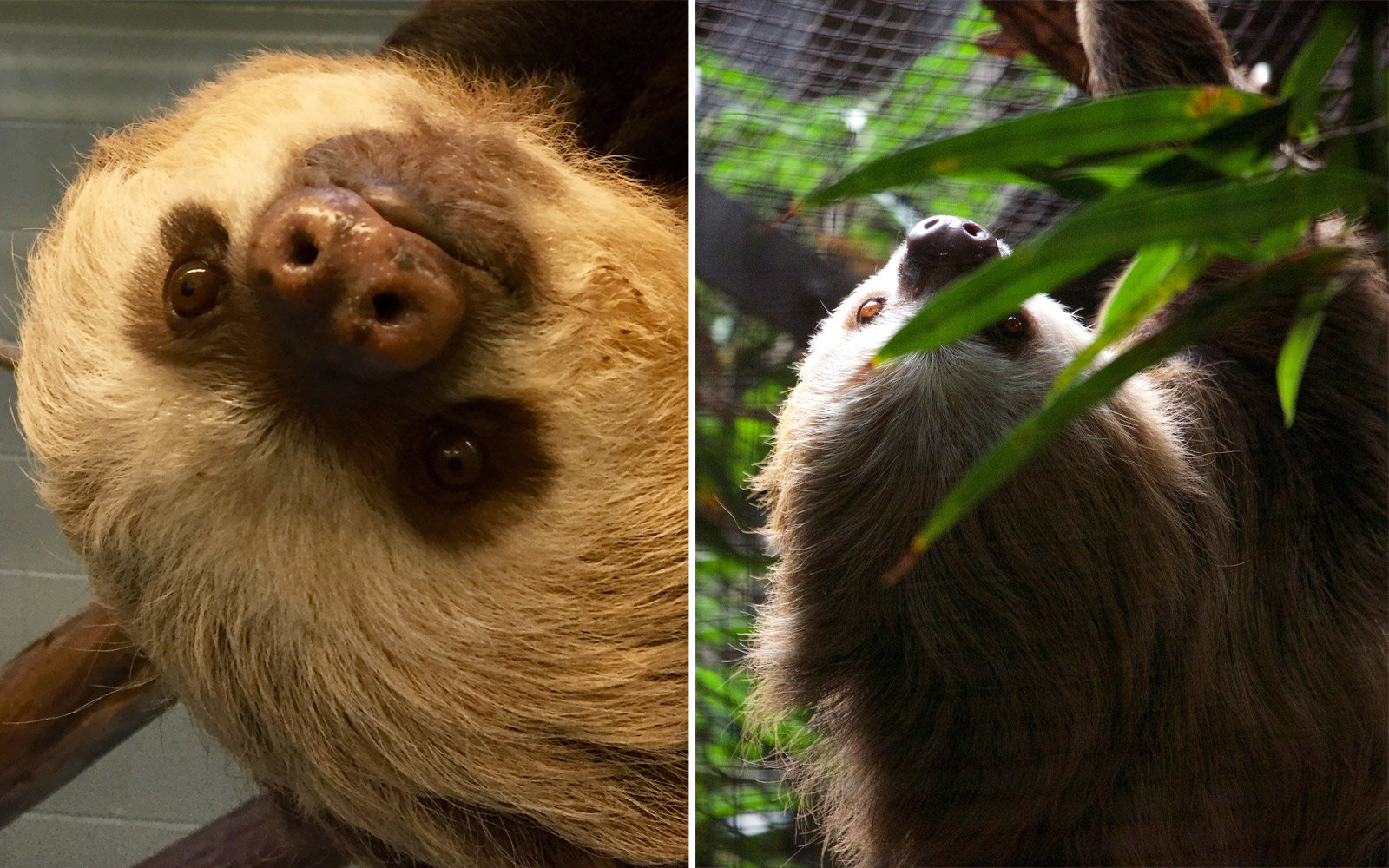 Jabba and Hope, the two toed sloths at Connecticut's Beardsley Zoo