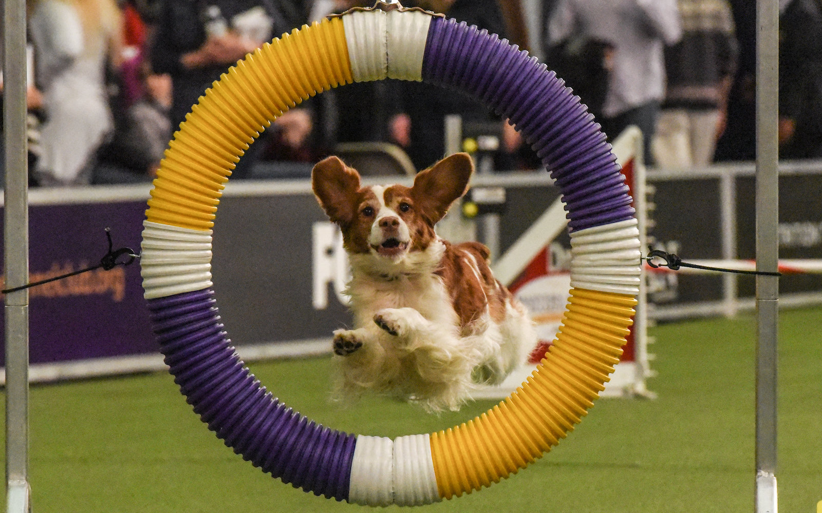 Dog competes in 2018 Westminster agility championship
