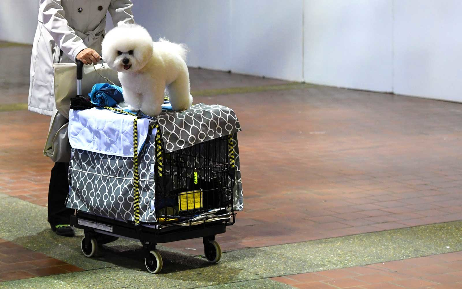A Bichon Frisein atop a cart is wheeled into the benching area on Day One of competition at the Westminster Kennel Club 142nd Annual Dog Show