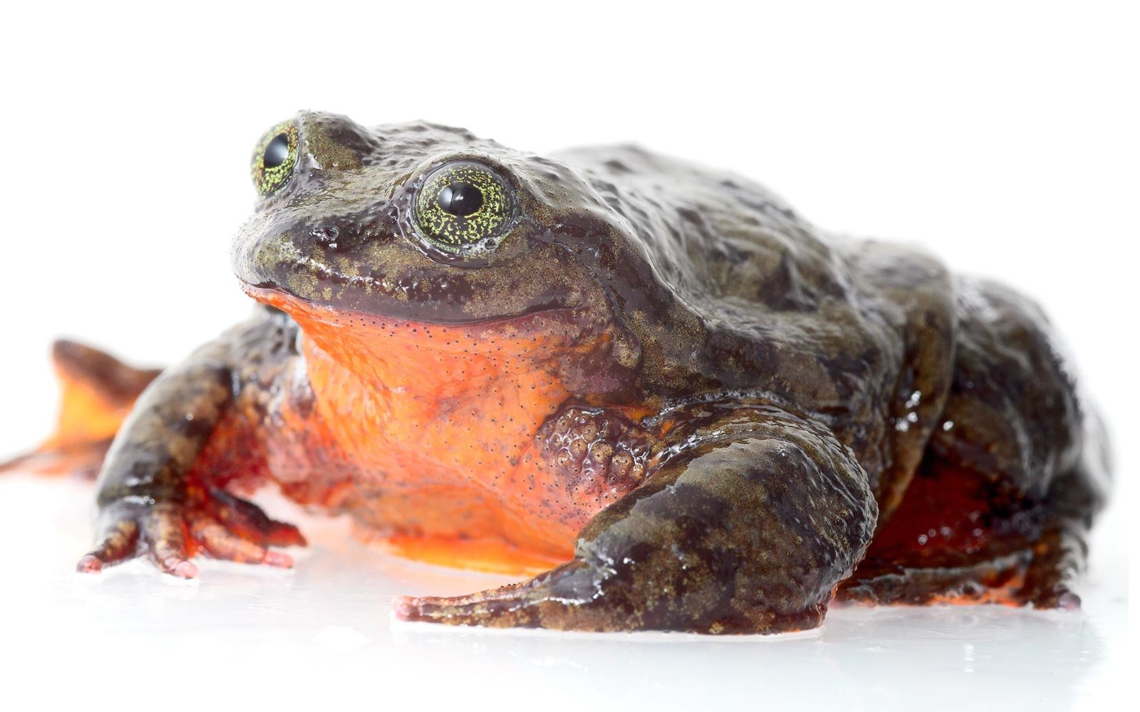 Global Wildlife Conservation Romeo Bolivian Frog