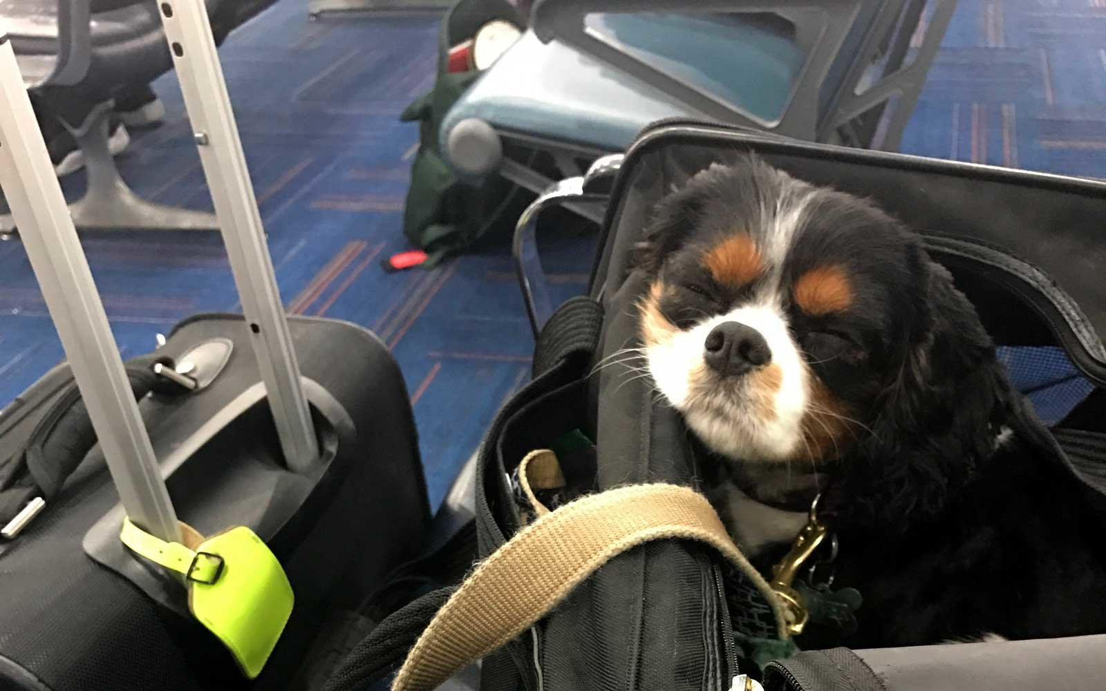 Emotional Support dog in bag at the airport