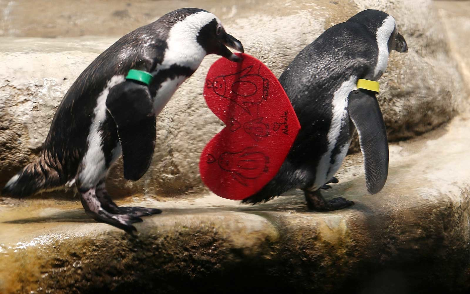 An African Penguin holds a Valentine's Day card at the California Academy of Sciences