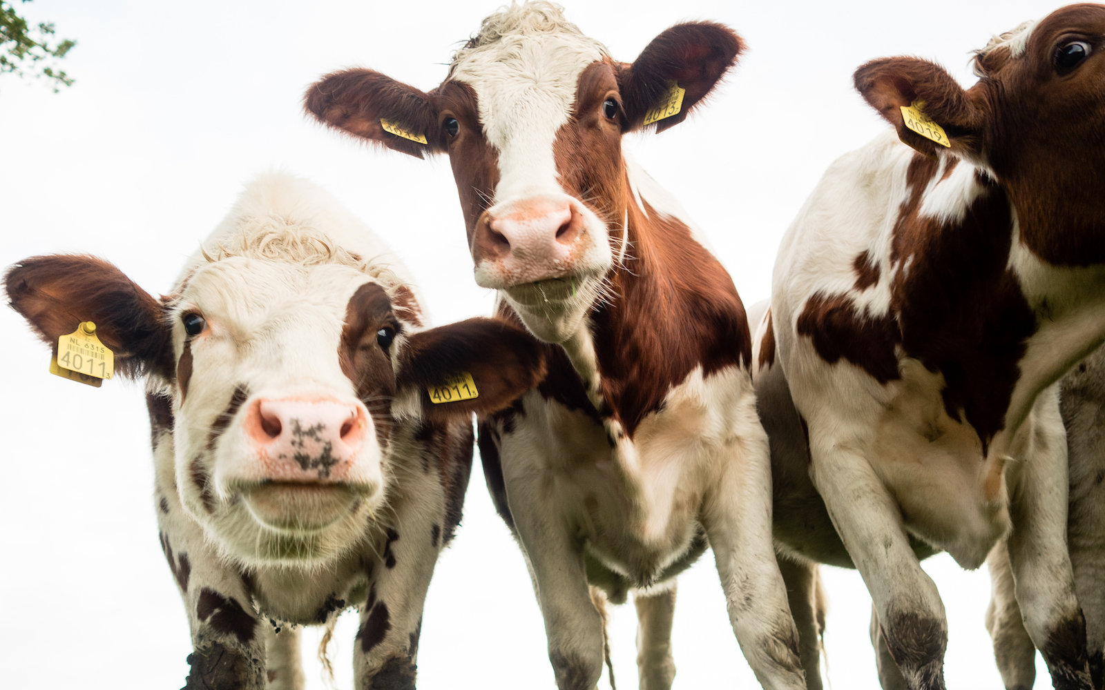 Three cows pose in a field