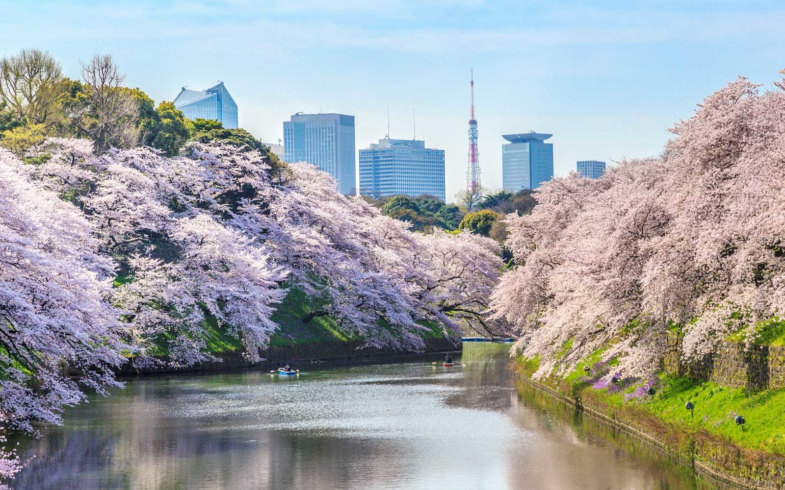View of the Tokyo Tower in Japan, during cherry blossom season