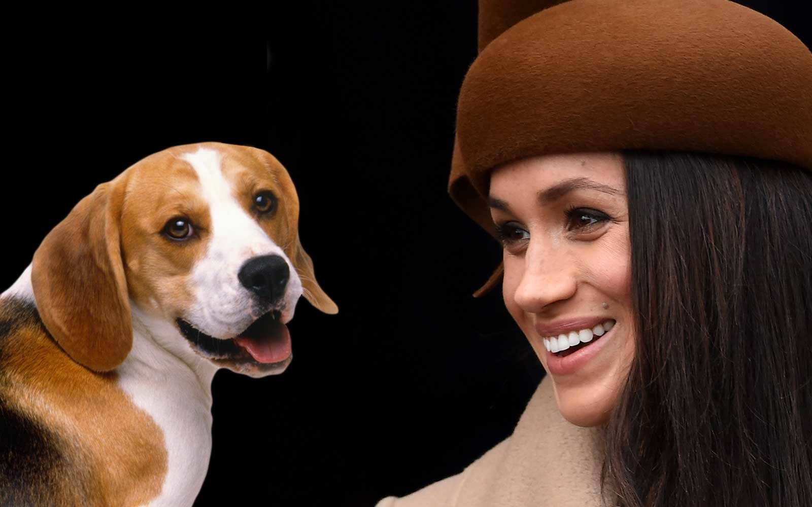 A Beagle dog and Meghan Markle