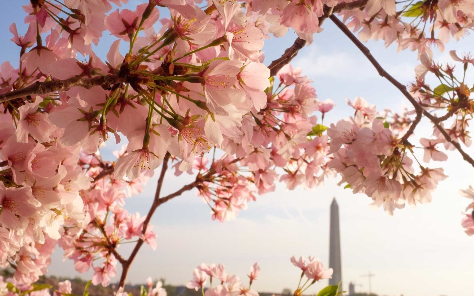 Cherry Blossom Forecast 2018 Washington D C Festival: cherry blossom pictures