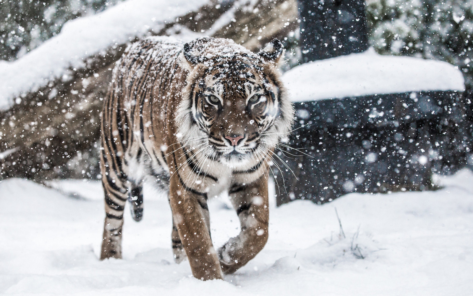 A Sumatran tiger at the London Zoo, in the snow.