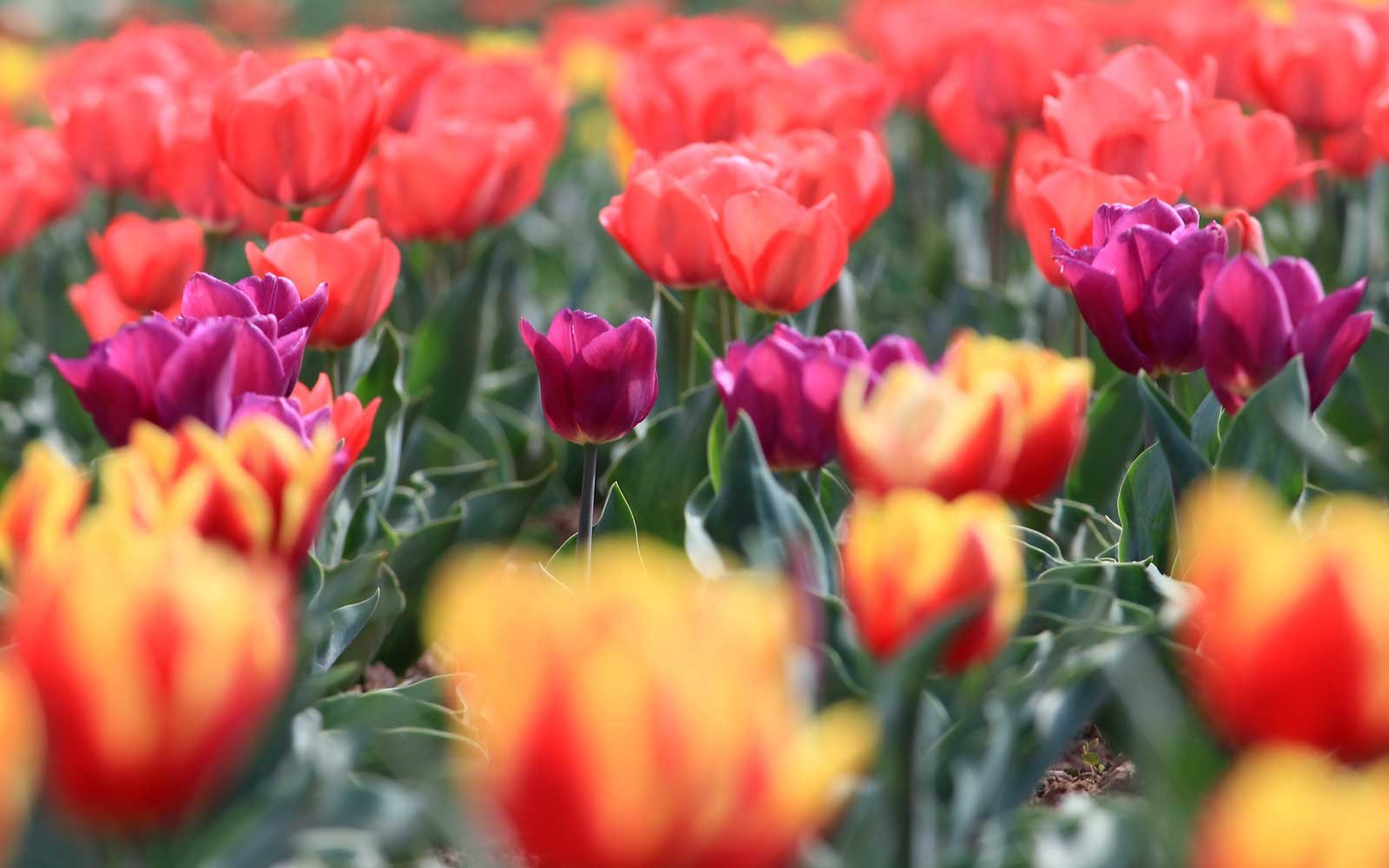 The Tulip Festival in Kashmir celebrates the blooming season