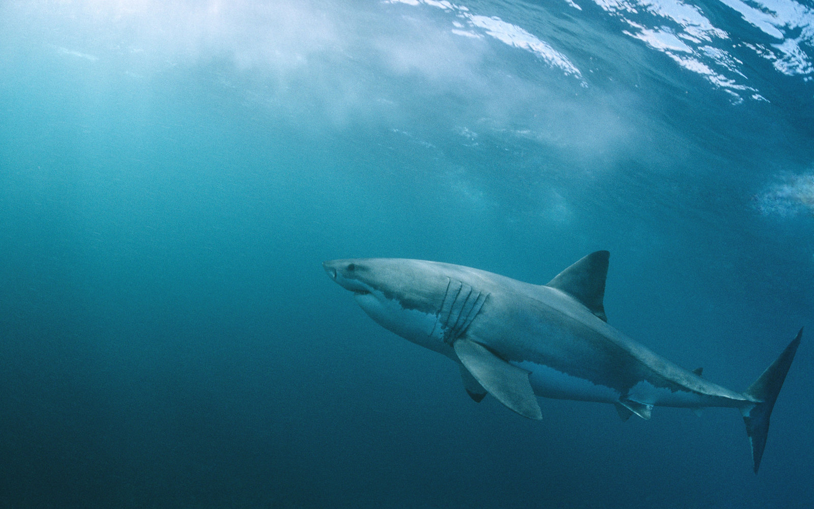 Video Great White Shark Circles Fisherman S Boat In