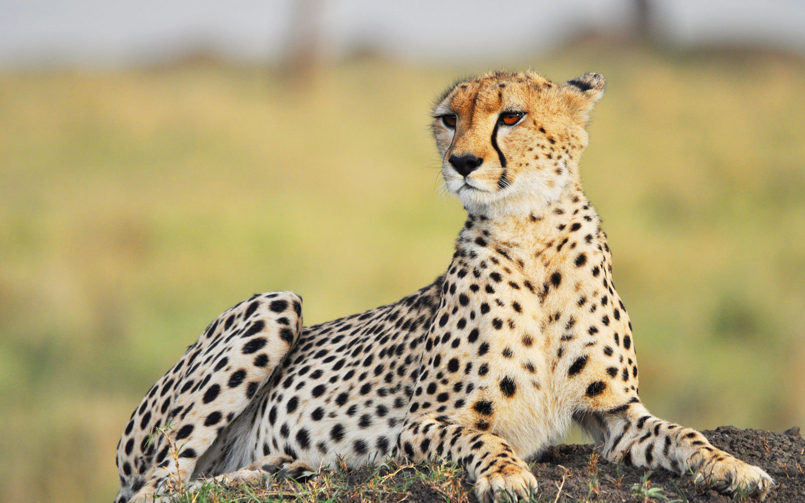 A Man On Safari Captured The Moment A Cheetah Jumped Into