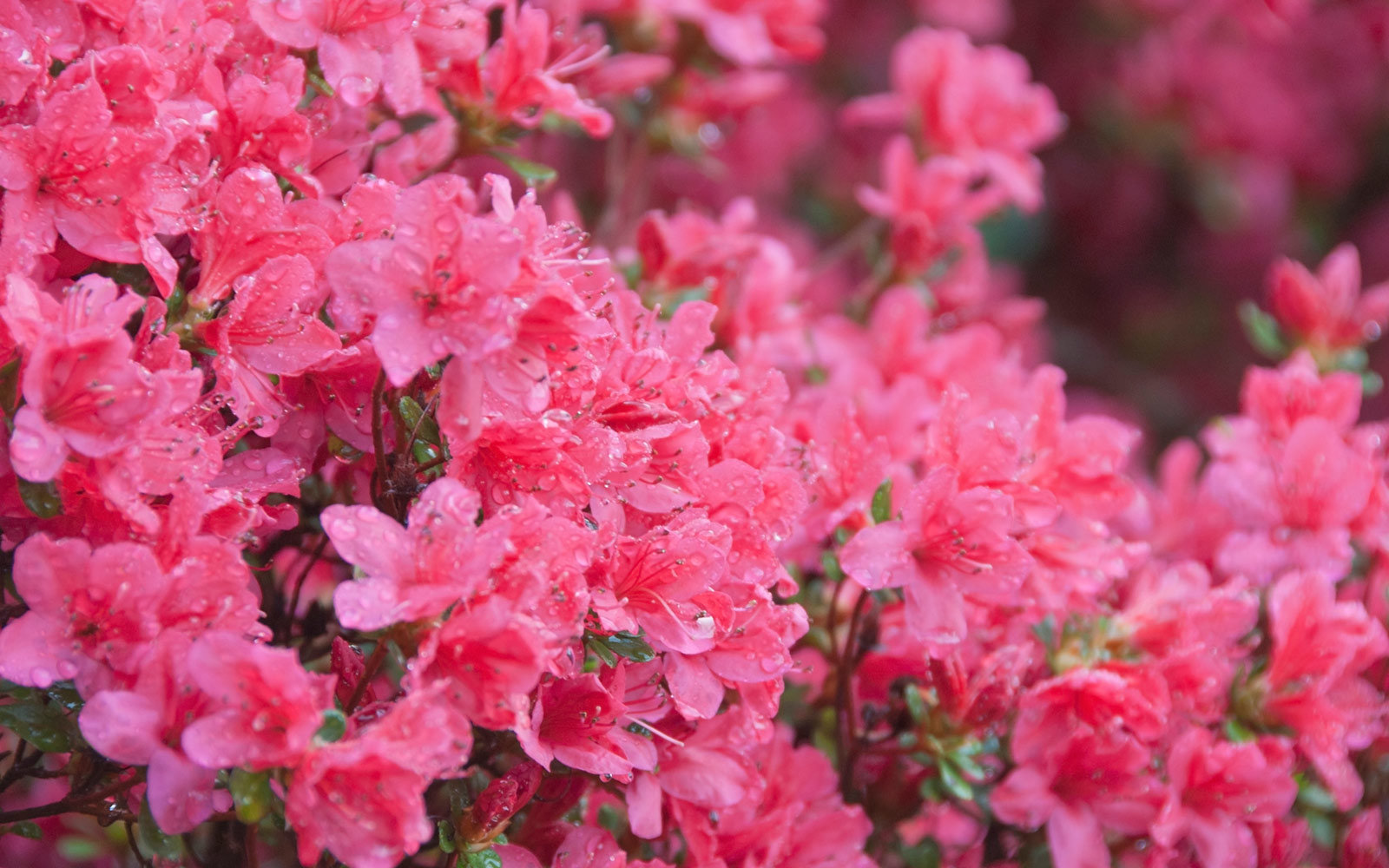 North Carolina Azalea Festival, Wilmington, North Carolina