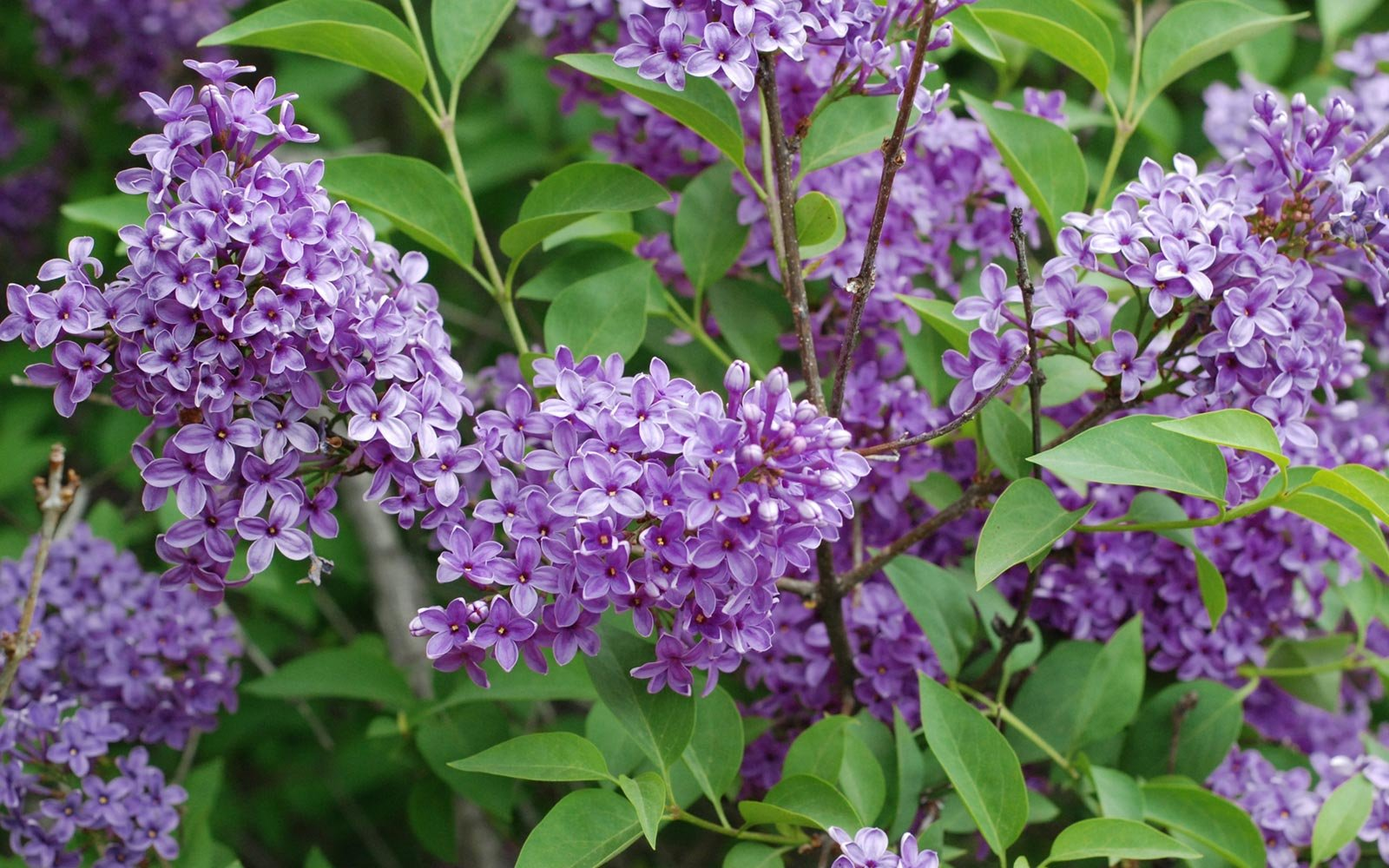 Lilac Festival in Rochester, New York