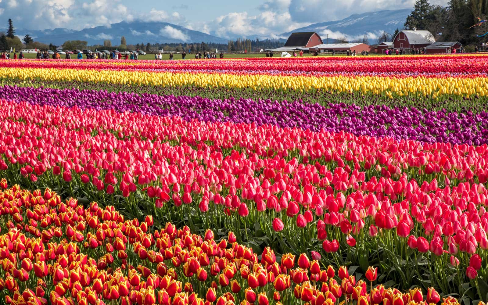 Skagit Valley Tulip Festival in Mount Vernon, Washington