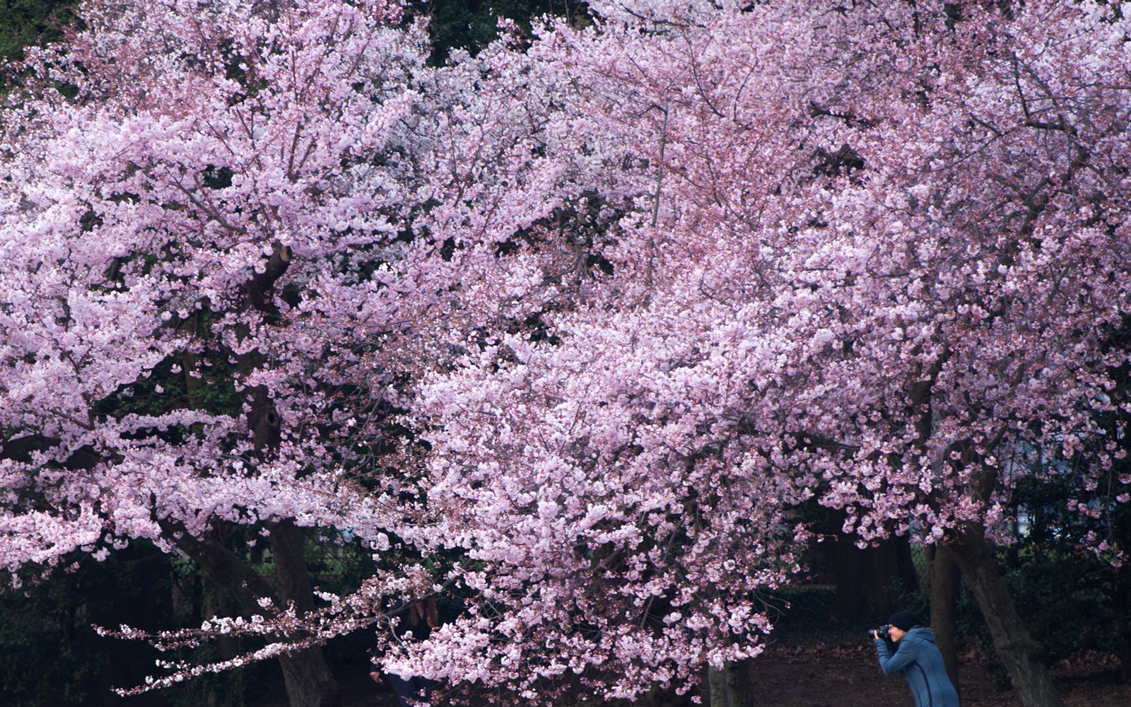 The Cherry Blossoms Have Finally Hit Peak Bloom In