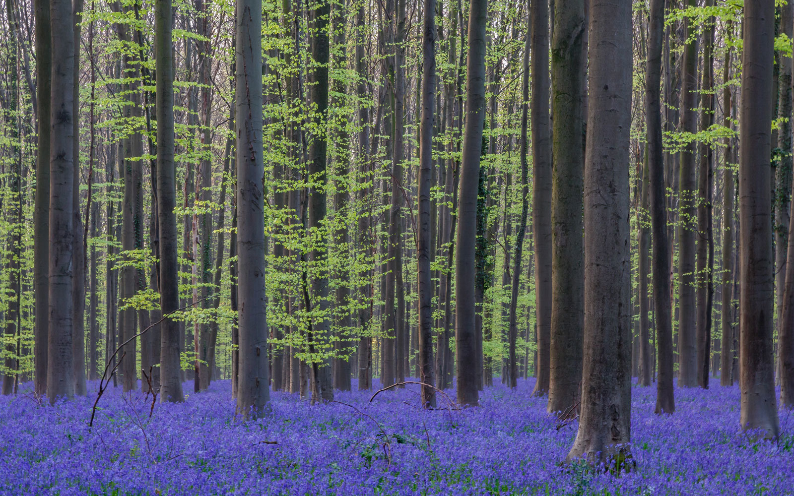 A Mesmerizing Flower Bloom Turns This Entire Forest Blue Every Spring