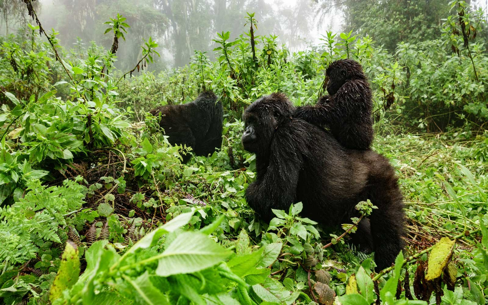 Female gorilla with baby in Virunga National Park