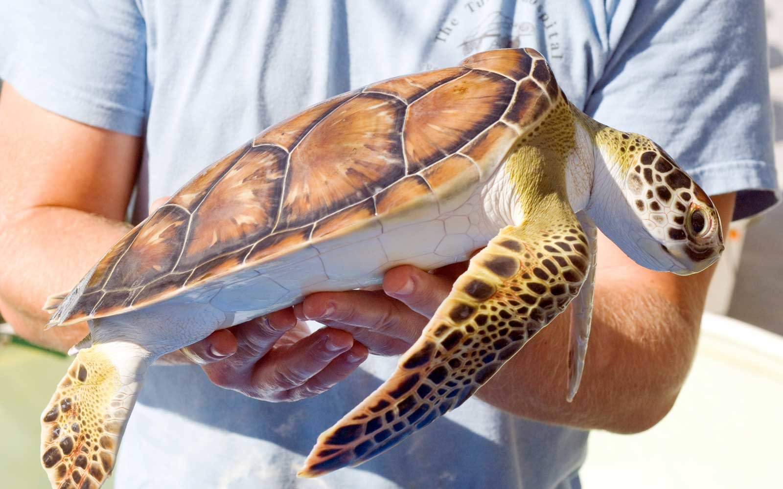 Worker holding a sea turtle at The Turtle Hospital in Florida