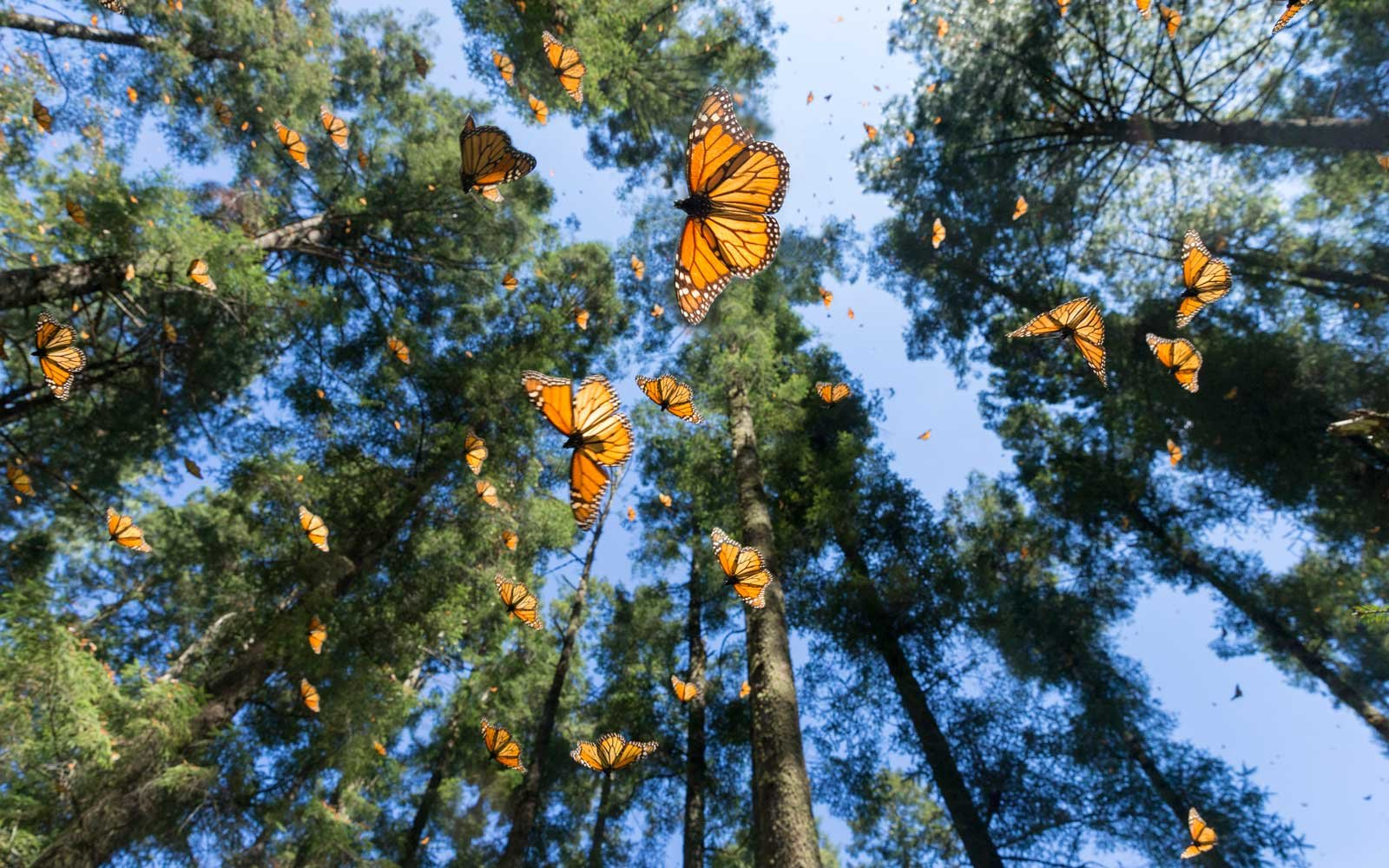 Monach butterflies in flight at the Biosphere Reserve in Mexico