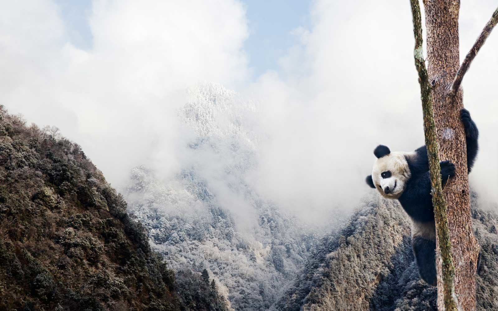 A giant panda climbing a tree in the mountains of China