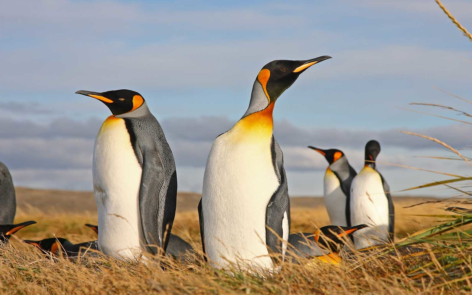 King penguins in Chile