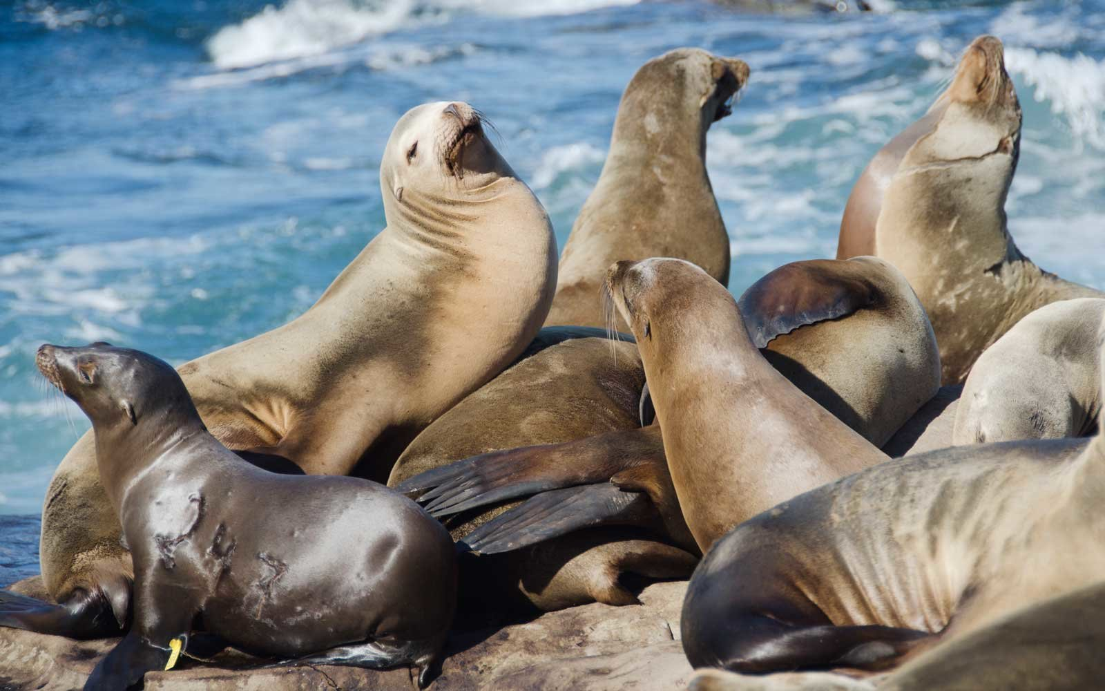 Gathering of Sea Lions near La Jolla Cove in California
