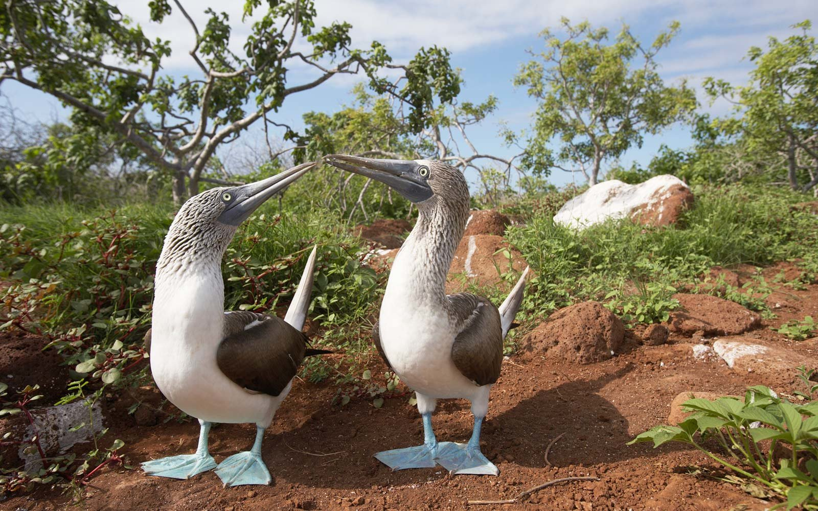 Blue Footed Boobies, Galapagos Islands, Ecuador