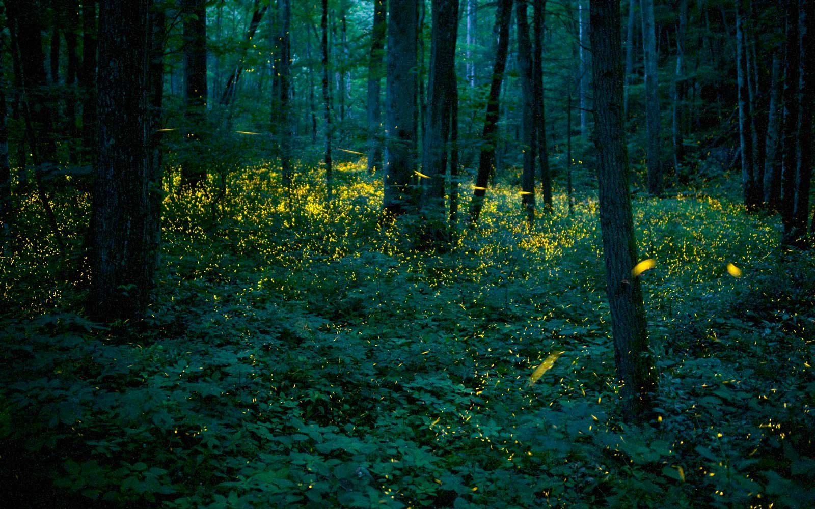 Hundreds of Mating Fireflies Put on a Dazzling Show in These U.S. Mountains Every Summer