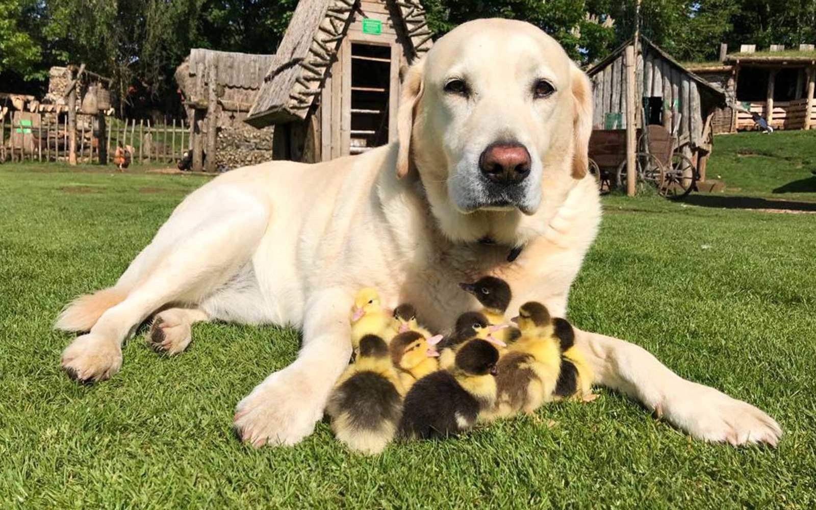 This Labrador Adopted These 9 Ducklings And Now They All