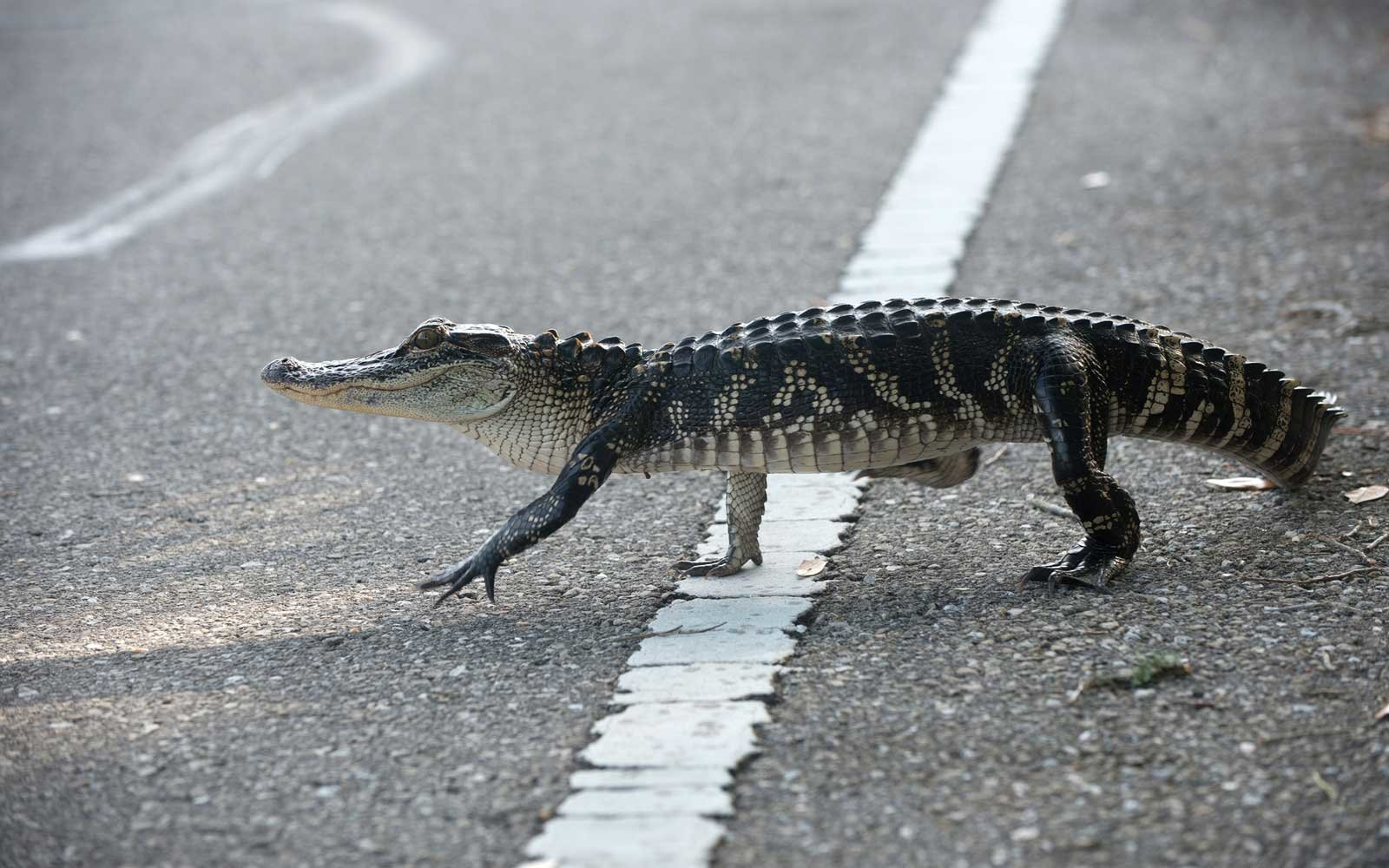 Alligator crossing in Florida