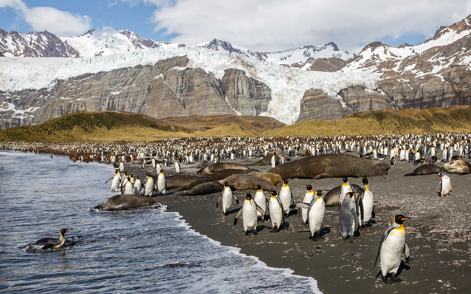 Penguins, South Georgia Island