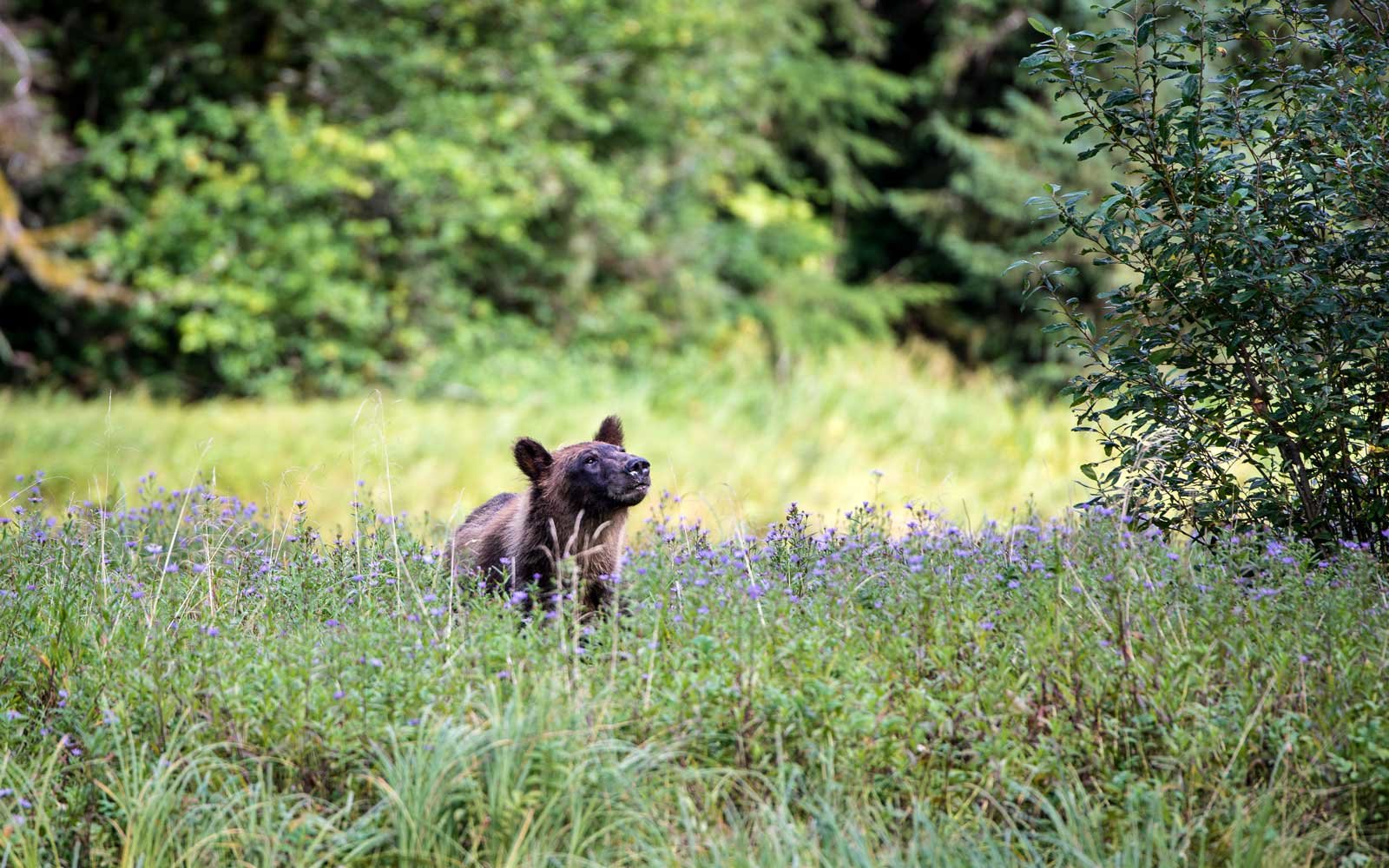 A young bear enjoys a walk in the undergrowth of the remote island of Klemtu in British Columbia, Canada,