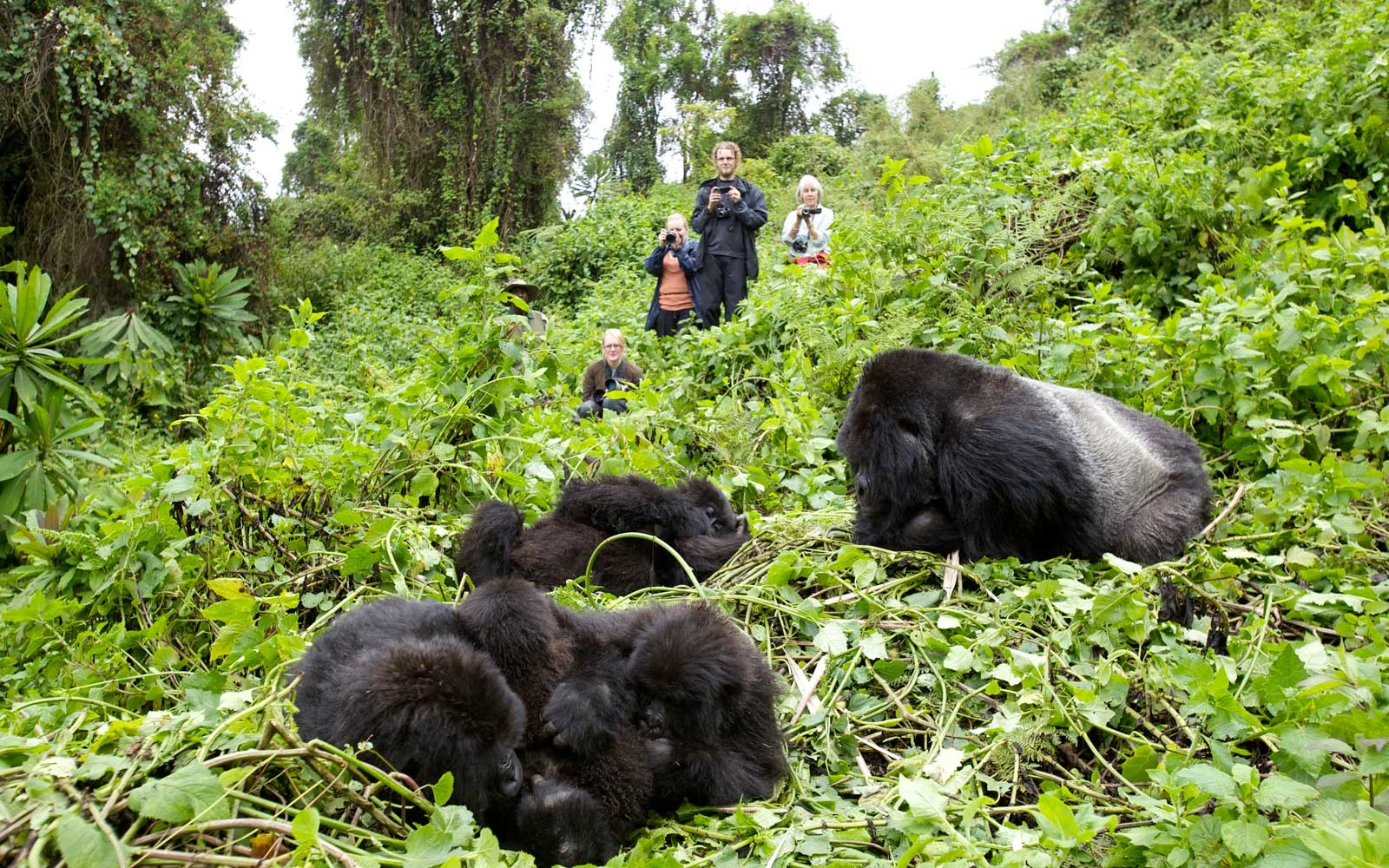 Tourists watching Mountain Gorillas (beringei beringei) whilst they rest in a clearing after feeding. Virunga mountains, Volcanoes National Park, Rwanda