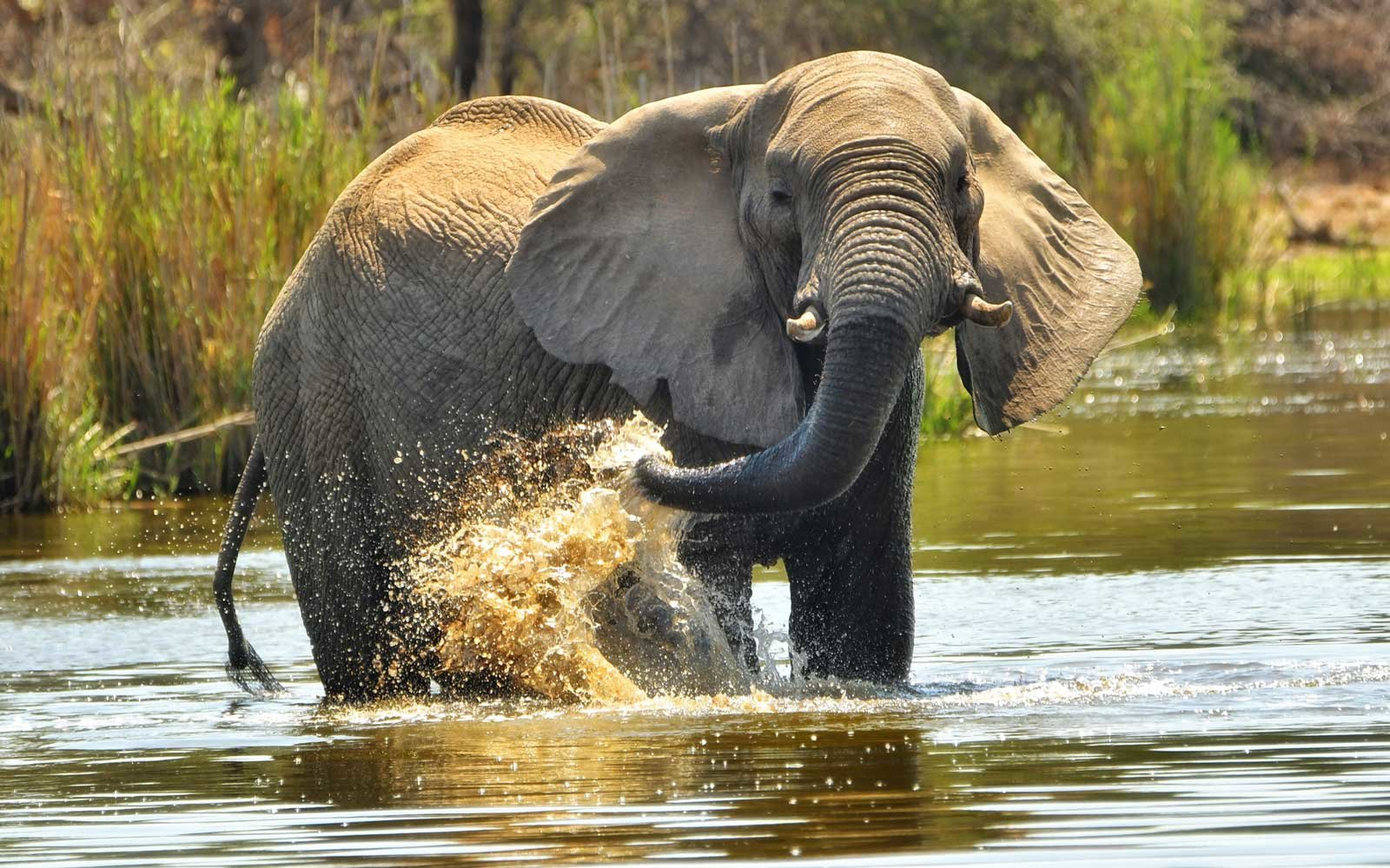 3 elephants in South Africa stopped for a drink at a hotel pool where guests were swimming