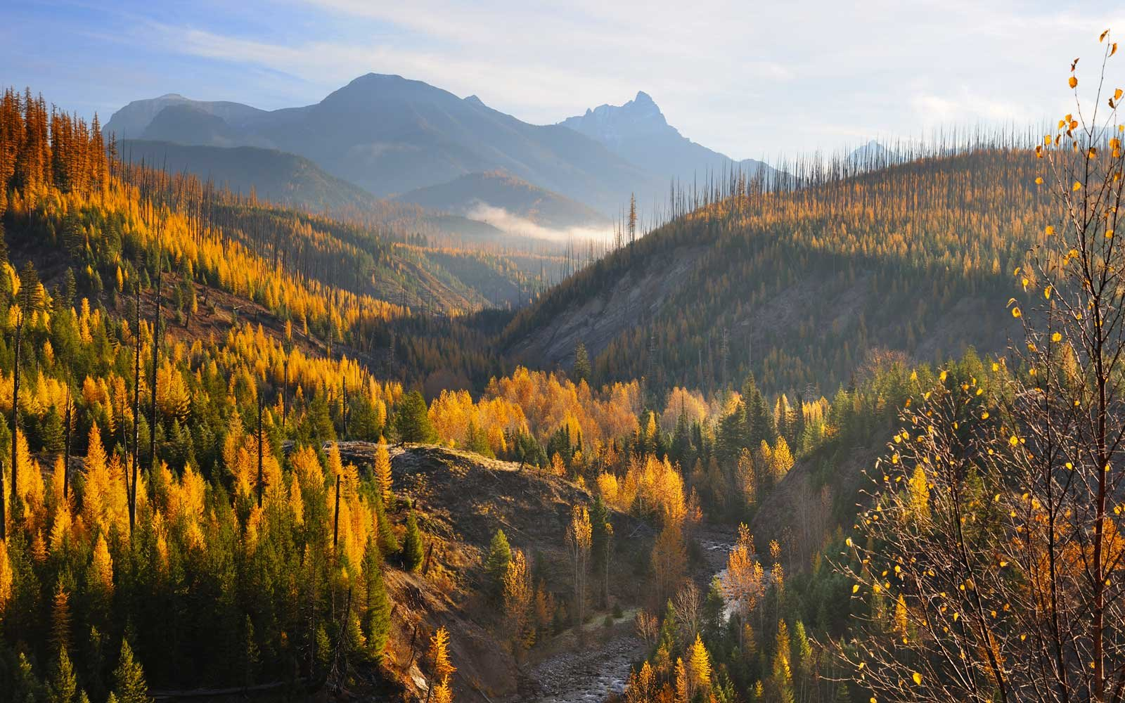 Scenic view of tamarack trees changing color in autumn in Glacier National Park