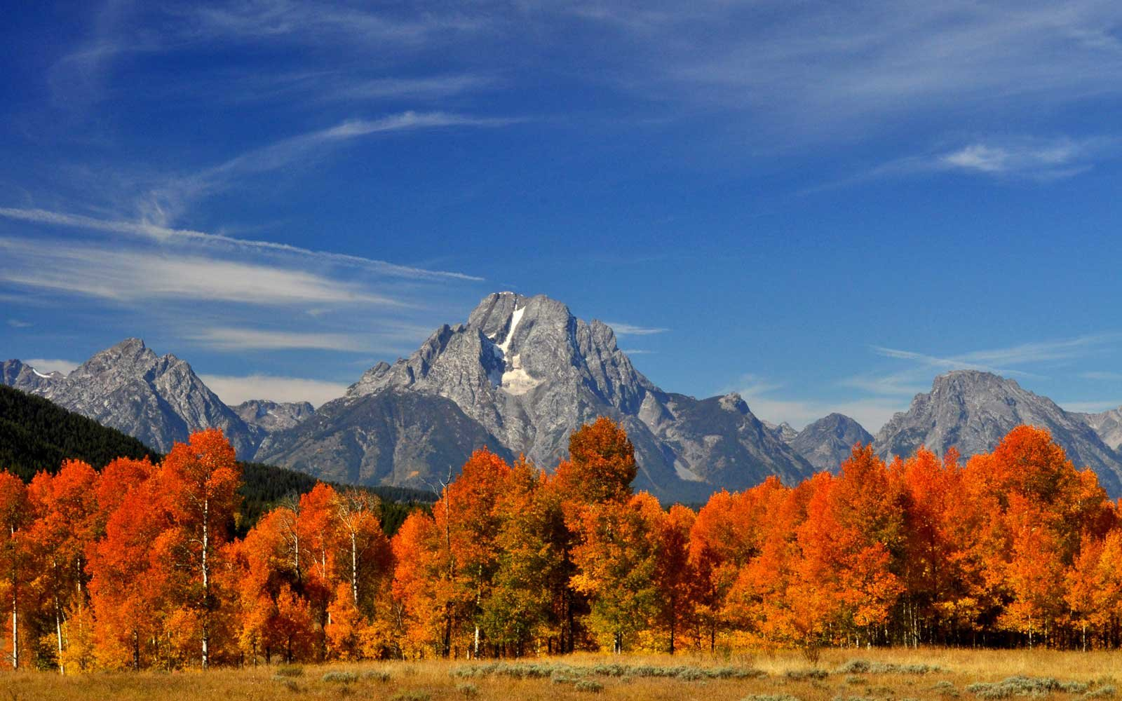 Brilliant orange aspen trees in Grand Teton National Park