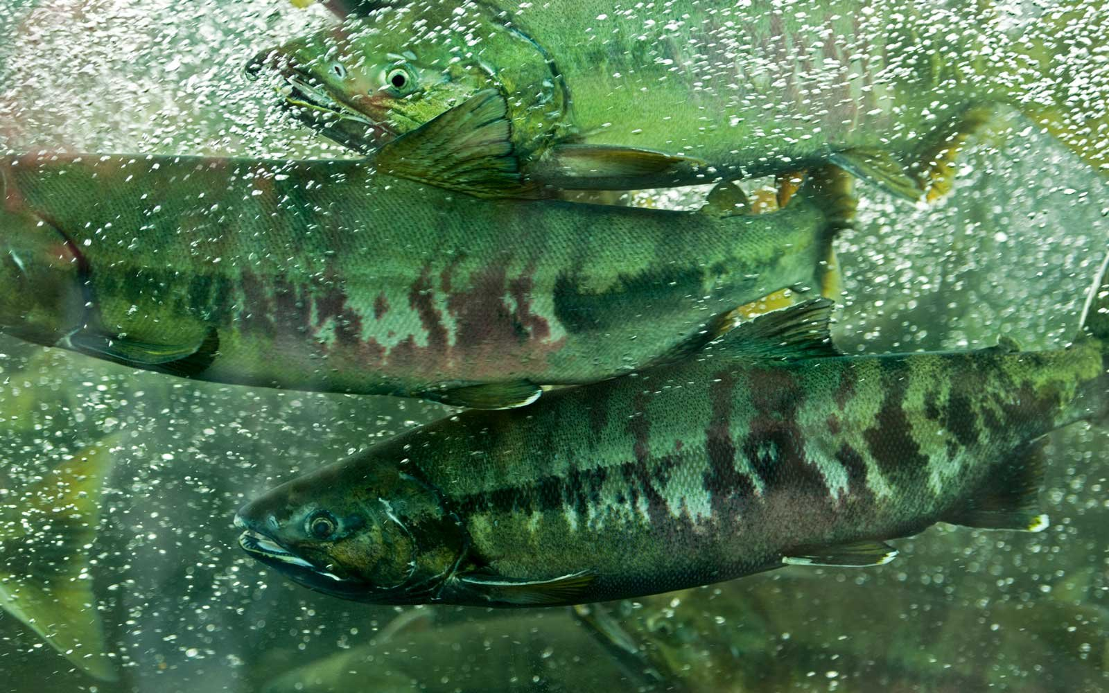 Close up of salmon at a hatchery in Alaska