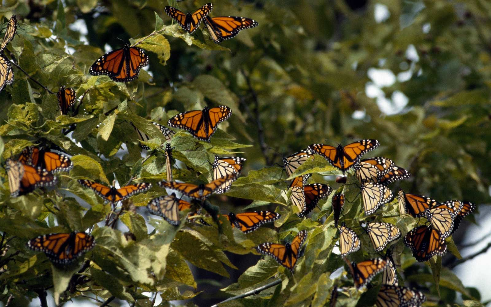 Monarch butterfly (Danais plexippus), Nymphalidae, Canada, Point Pelee National Park