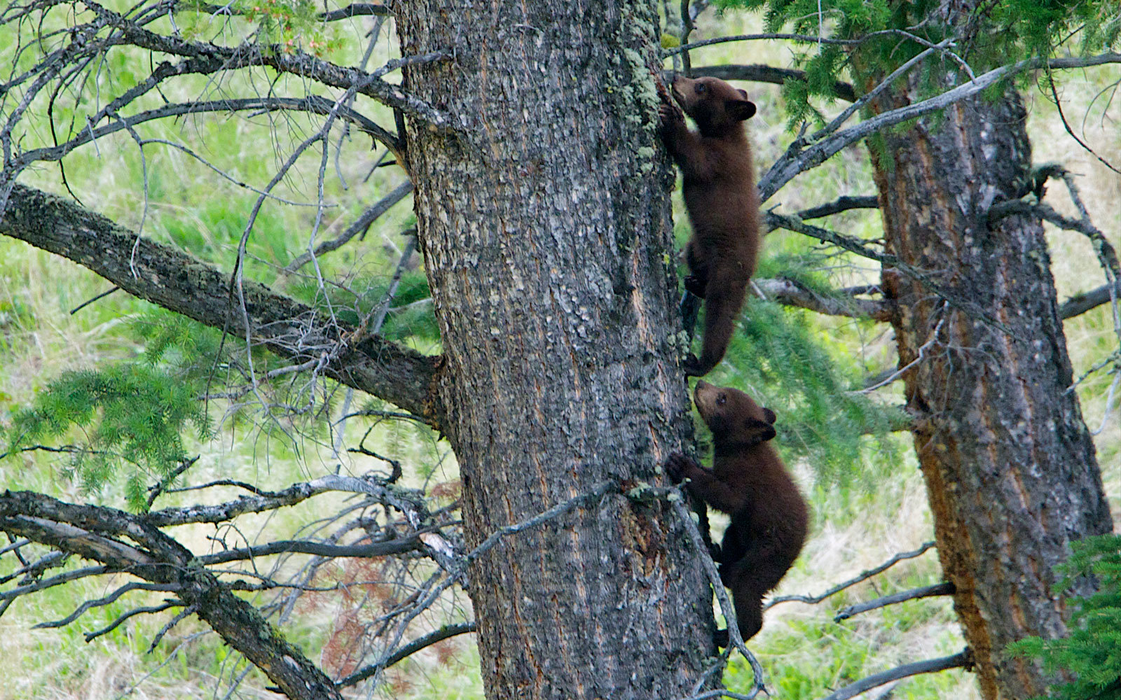 Black bear cubs race each other to the top of the tree in Yellowstone National Park, in Wyoming.