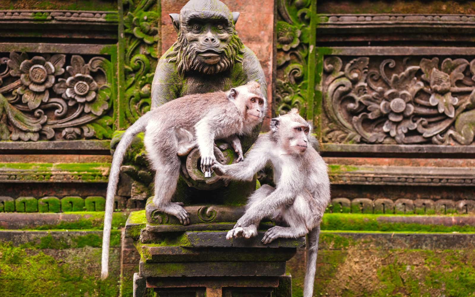 Long-tailed macaque (Macaca fascicularis) in Sacred Monkey Forest, Ubud, Indonesia