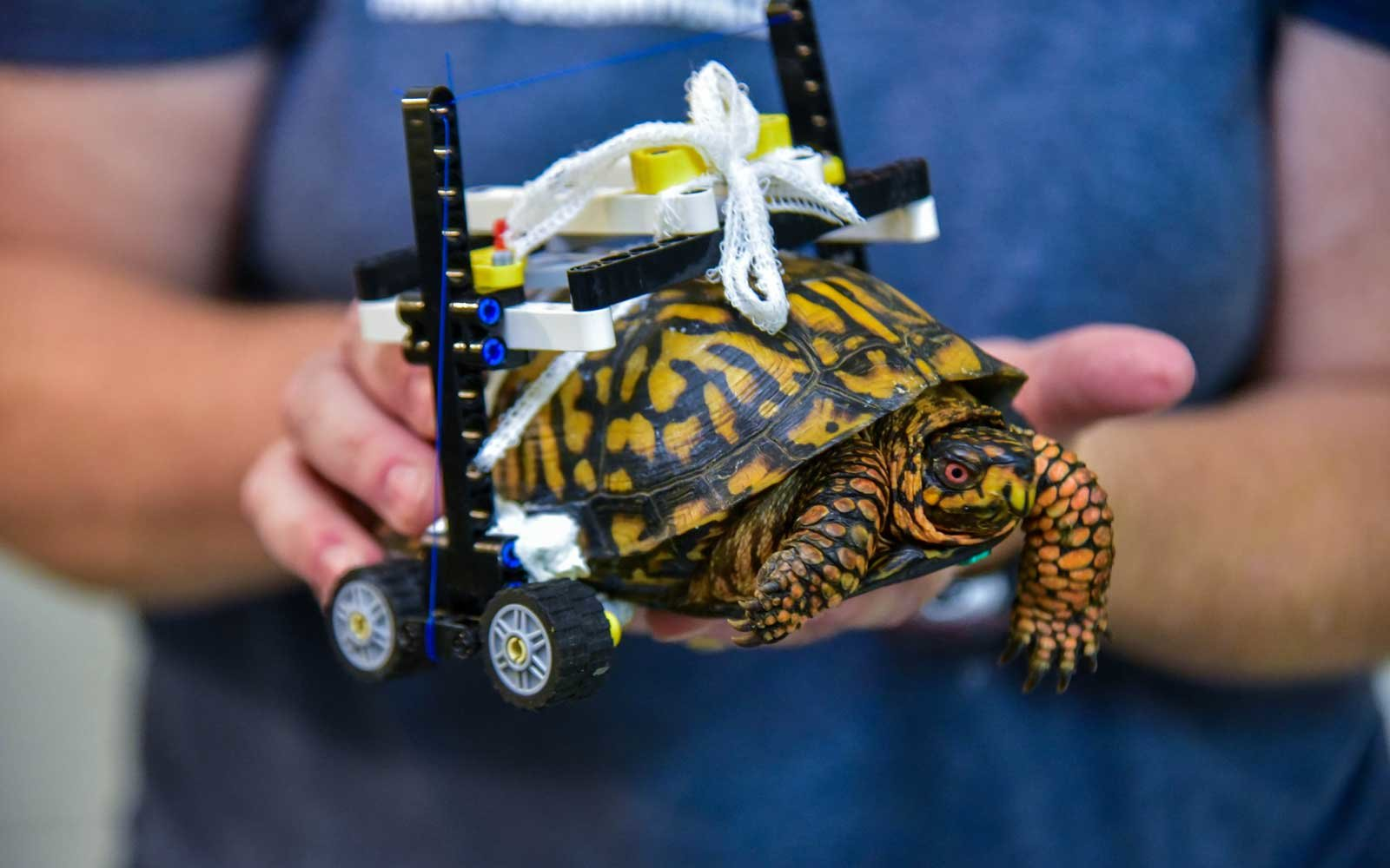 Maryland Zoo rehabilitates turtle with lego wheelchair
