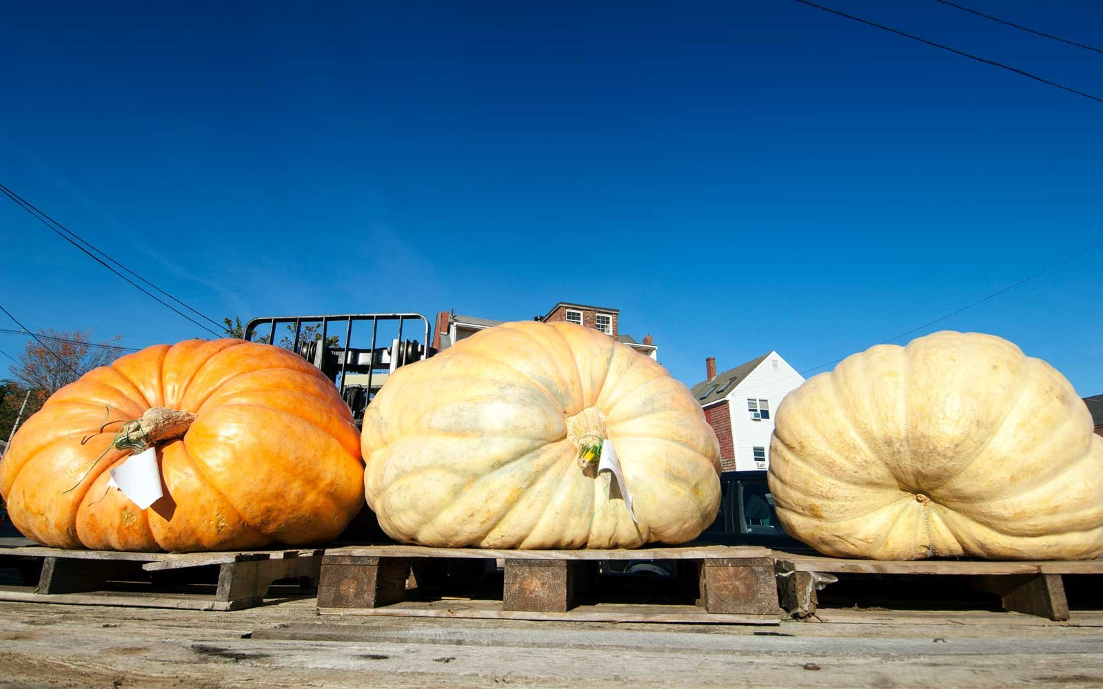 Giant Pumpkins Grown for Pumpkinfest in Damariscotta Maine