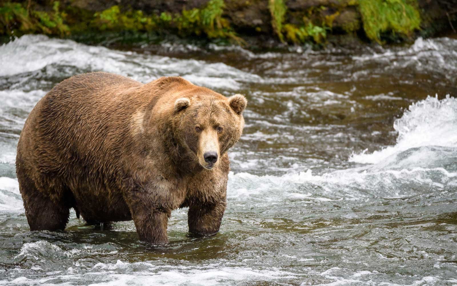 Fat Bear Week Is A Thing In Alaska And This Park Needs Your Help Finding The Fattest Of Them