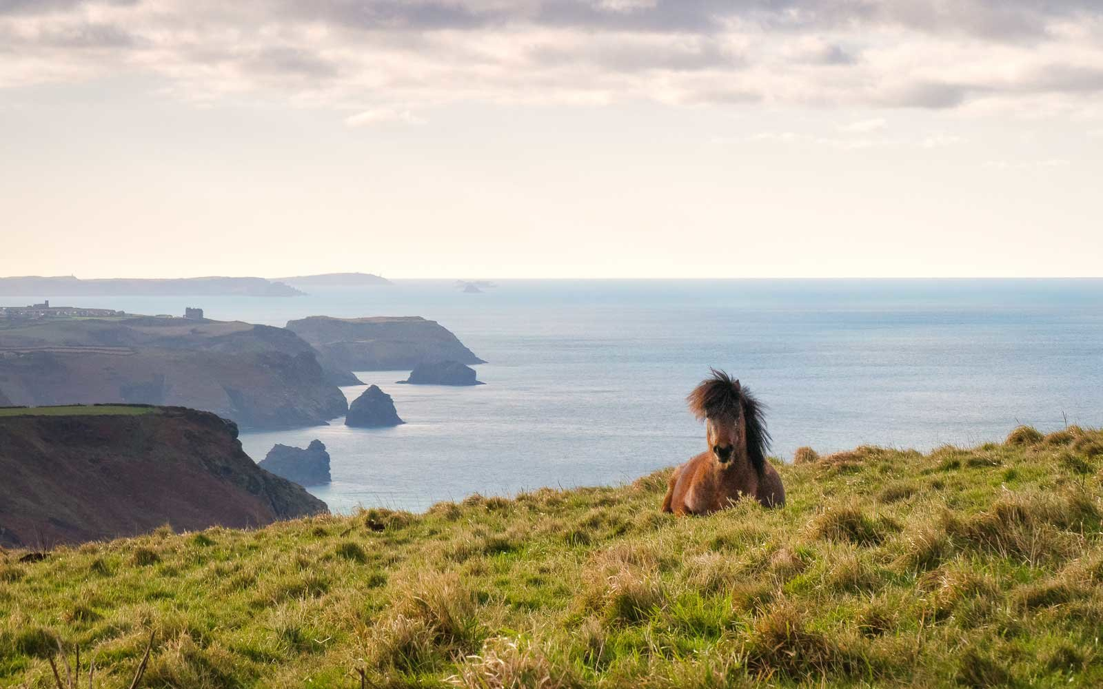 Pony sitting down on the coast path, looking towards Tintagel, Cornwall
