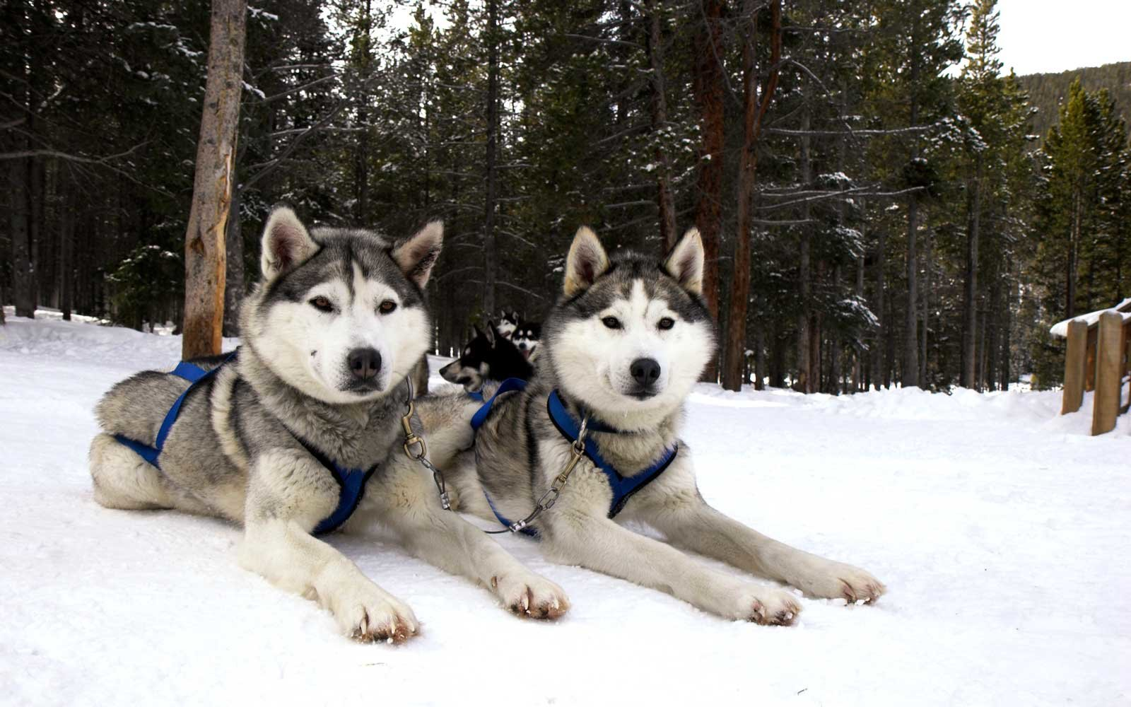 Sled dogs in Breckenridge, Colorado