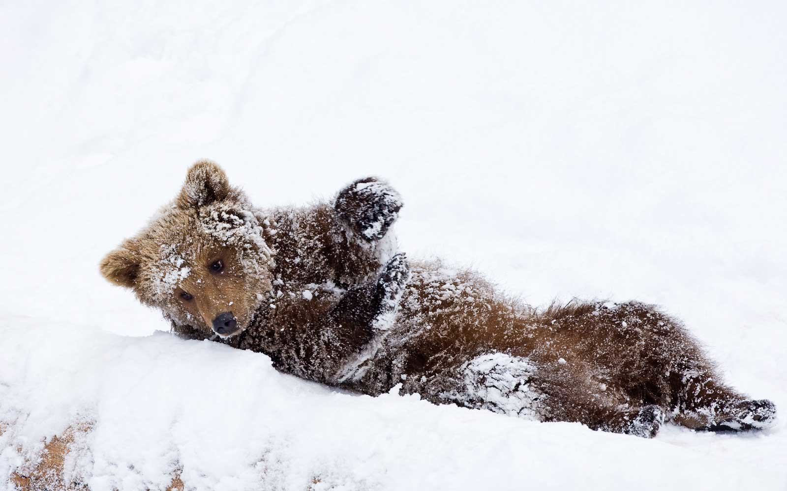 The video shows a bear cub and its mother climbing up a snowy slope.