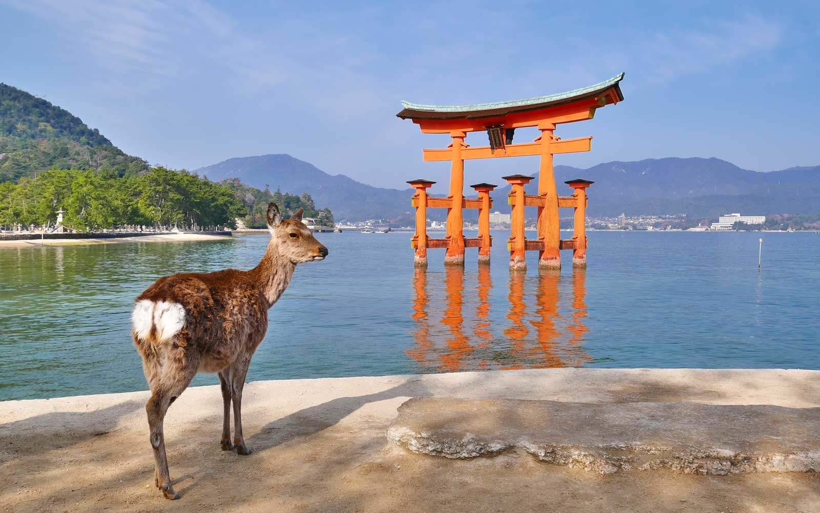 A wild deer is looking at the famous floating Torii Gate in Miyajima Island