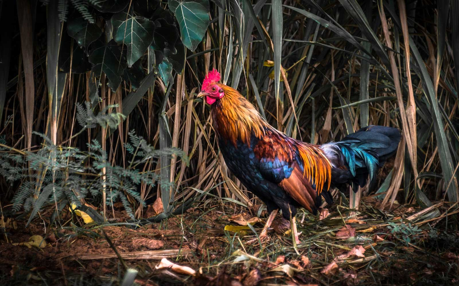 One of Kauai's many feral roosters poses for a picture. The Hawaiian island is home to thousand of wild chickens.