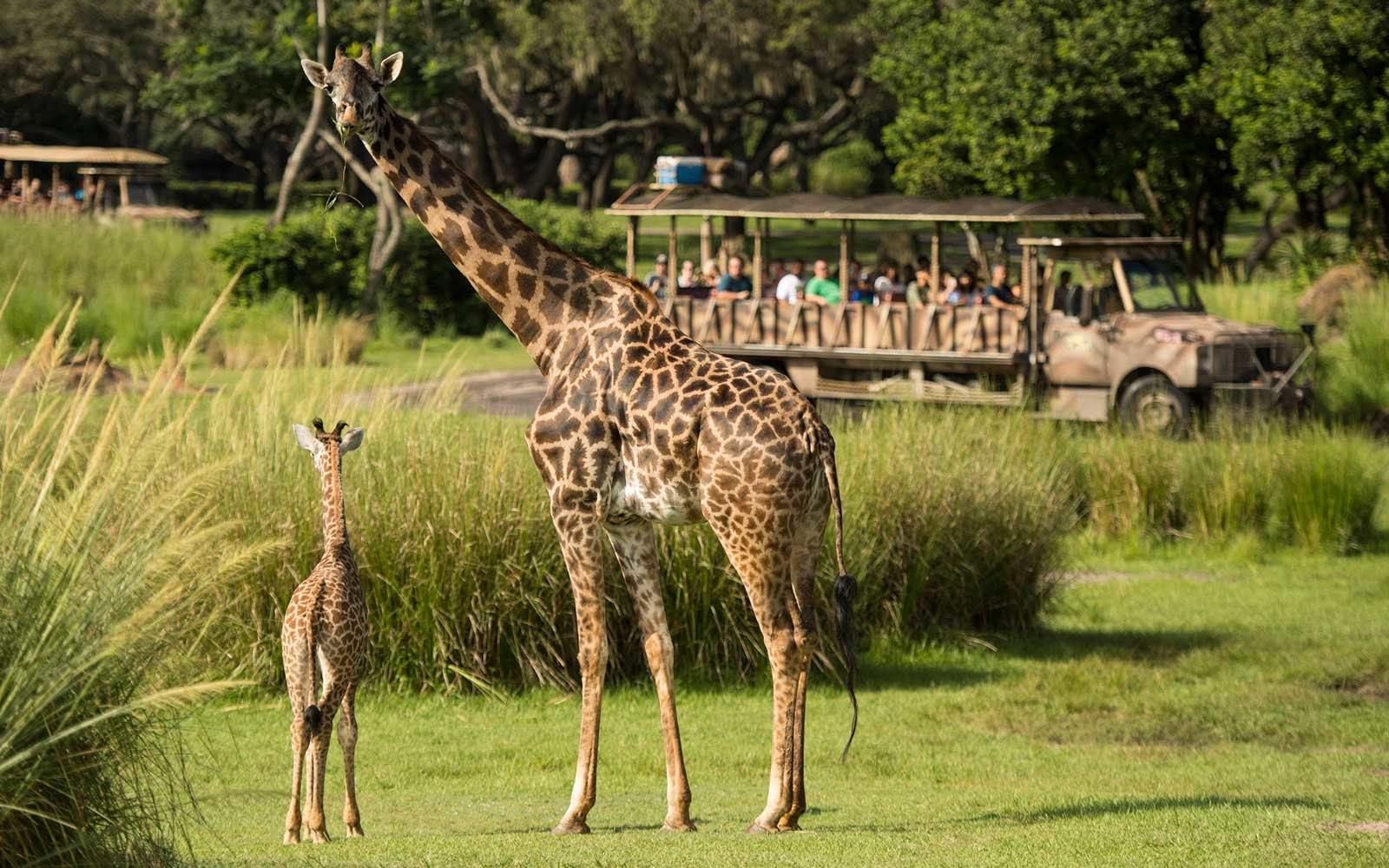 Walt Disney World's Animal Kingdom Giraffe gives birth