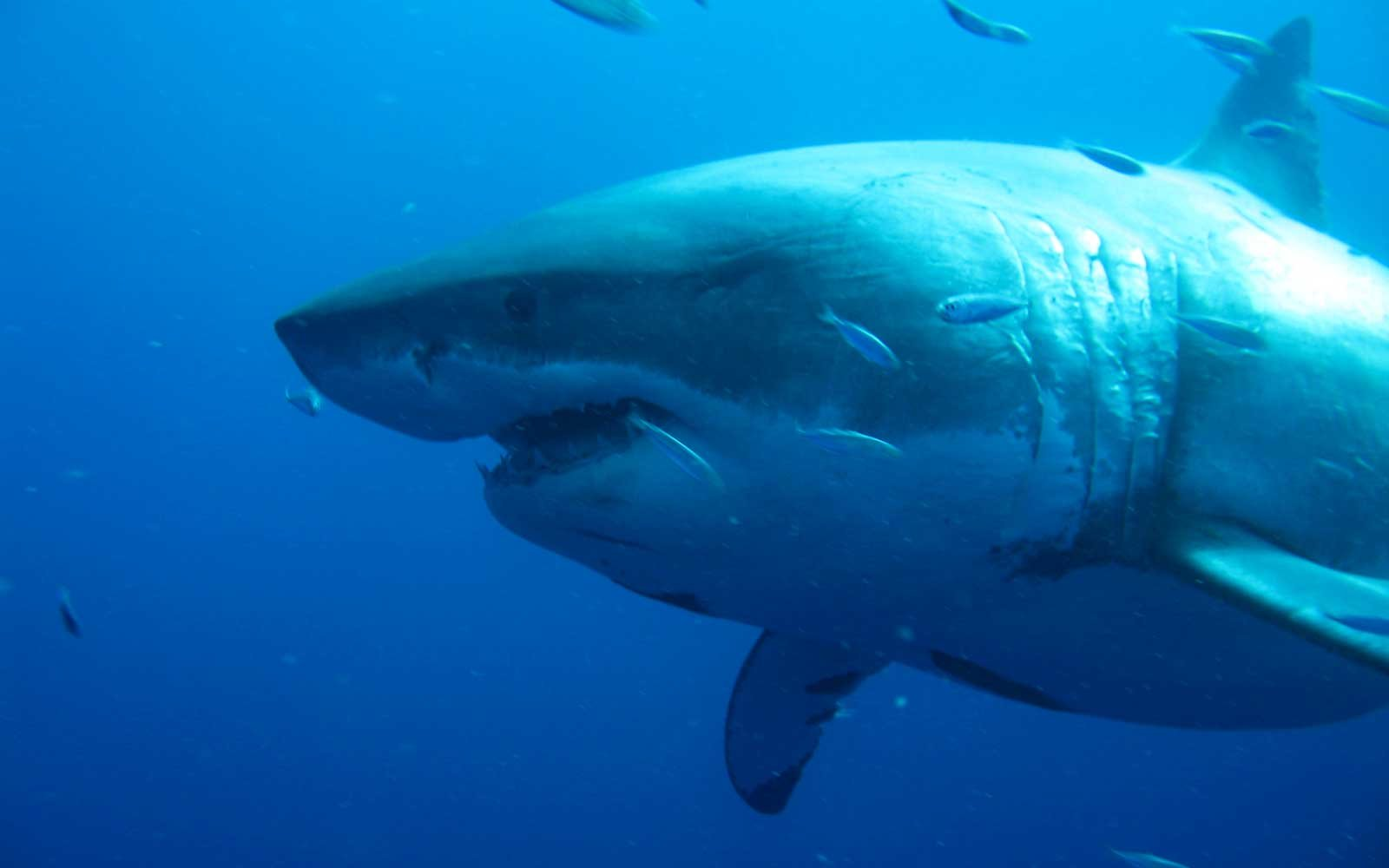 Deep Blue, the legendary Great White Shark